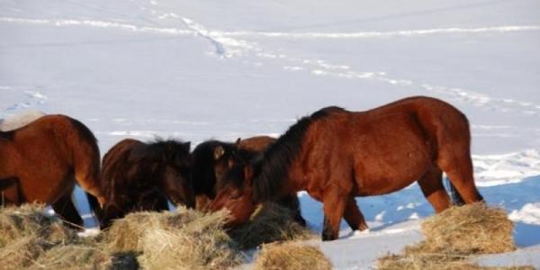 Soğukta kalan atlara yardım eli